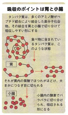 タンパク質 消化 酵素